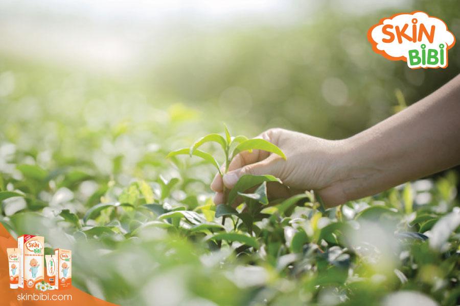 trà xanh giúp tăng sức đề kháng cho da em bé